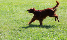 Setter running  at park Royalty Free Stock Images