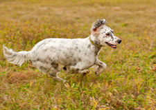 Setter runs on green grass. Horizontal. Royalty Free Stock Photography