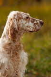 Setter's portrait Royalty Free Stock Photography