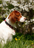 Setter's portrait royalty free stock images