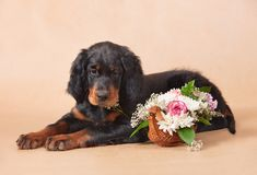 Setter's puppy with flowers Stock Photo