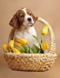 Setter's puppy and yellow tulips, royalty free stock photos