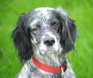 Setter - serious dog Stock Photos