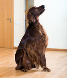 Setter sitting on   floor Royalty Free Stock Photos