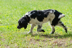 Setter sniffing a track Royalty Free Stock Images