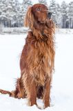 Setter in the snow. Stock Images