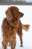 Setter in the snow. Royalty Free Stock Images