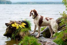 Setter about trophies on the background of water Royalty Free Stock Photography