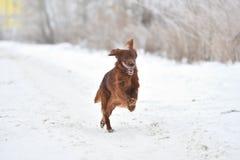Setter vermelho irlandês da raça do cão Imagens de Stock Royalty Free