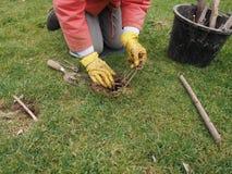 Setting a mole trap. In a domestic garden Stock Photo