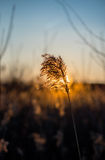 The setting sun and branch bulrush. The setting sun and a branch of the river reeds Stock Images