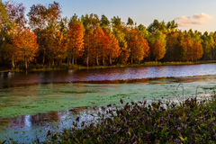 Setting Sun on the Bright Fall Foliage of Cypress Trees Royalty Free Stock Photography