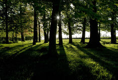 Setting Sun casting shadows through a spinney of trees Stock Image