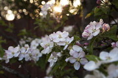 Setting sun glimpses through blooming aple tree branches. Stock Photos