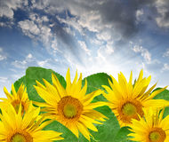 Setting sun over the sunflowers royalty free stock images