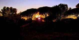 Setting sun through Parasol Pines Royalty Free Stock Photos