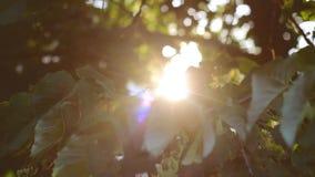 Setting sun shines through tree leaves; summer sunset. Setting sun shines through green tree leaves; summer sunset stock video footage