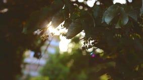 Setting sun shines through tree leaves; summer sunset. Setting sun shines through green tree leaves; summer sunset stock video