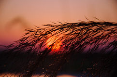 The setting sun. The sunset behind reed leaves Stock Images