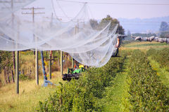 Setting Up Protective Netting. Farmers set up netting to protect berries from birds Stock Images