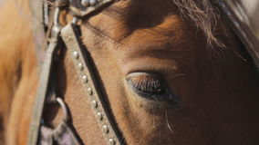 The settled eye of brown horse which is staying outside with harness and bridle. Made of leather and metallic belts. It is a beautiful domestic hoofed animal stock video footage