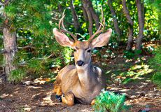 Resting and relaxed mule buck deer - clear and colorful - with Pines and Oaks. Settling down for a bit of a siesta in the forest, this sleep deer had no problem stock photography
