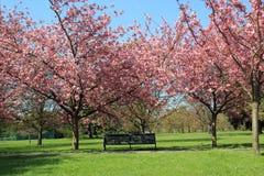 Setzen Sie unter blühenden Bäumen des Rosas in Greenwich-Park auf die Bank Lizenzfreies Stockbild
