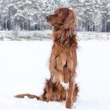 Setzer im Schnee. stockbild