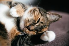 Seu gato tricolor do sono da cabeça fotos de stock royalty free