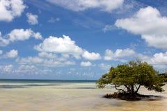 Seul arbre de palétuvier Photographie stock libre de droits