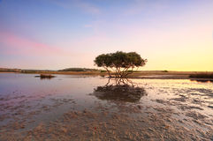 Seul arbre de palétuvier Photo libre de droits