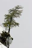 Seul arbre de pin sur une falaise Images libres de droits