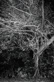 Seul arbre foncé noir et blanc Image libre de droits