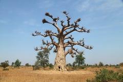 Seul baobab Image libre de droits