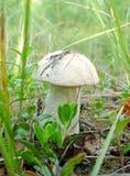 Seul boletus de champignon de couche Images stock