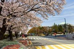 Seul czereśniowy okwitnięcie Fotografia Royalty Free