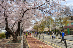 Seul czereśniowy okwitnięcie Zdjęcie Royalty Free