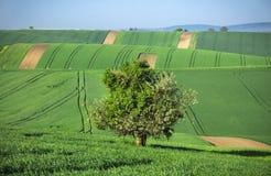 Seul grand arbre dans l'océan vert images libres de droits