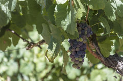Seul groupe de raisins sur la vigne Photo stock