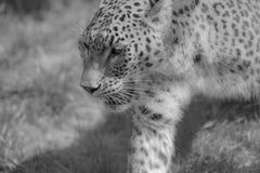 seul guépard en noir et blanc au zoo en été en plan rapproché images stock