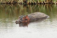 seul hippopotame Images stock