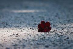 Seul, jeté, fleur rouge foncé se trouvant sur le chemin de gravier Image stock