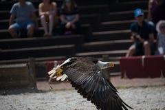 seul l'aigle chauve pêche en vol un poisson en été en couleurs au zoo photographie stock libre de droits