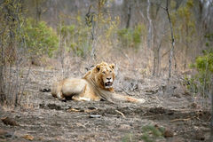 Seul lion mâle Photos stock