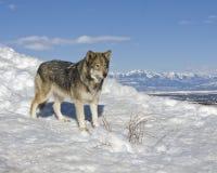Seul loup dans la neige Photo libre de droits