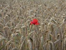 Seul pavot dans le blé Image libre de droits