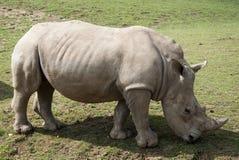 Seul rhinocéros Photos libres de droits