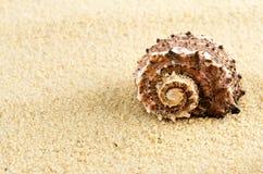 Seul seashell. images libres de droits