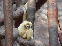 Seul singe Photos libres de droits