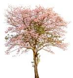 Seul un support de bel arbre de tecoma de pind (trompette rose) sur W images stock